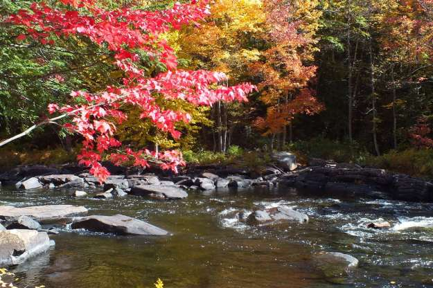 Red maple leaves on the Oxtongue River