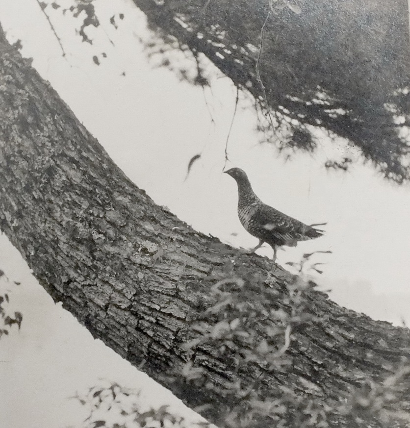Photo of a Grouse in a tree, by Tom Thomson