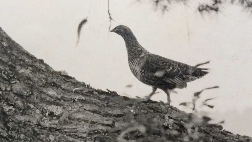 Photo of a Grouse, taken by Tom Thomson